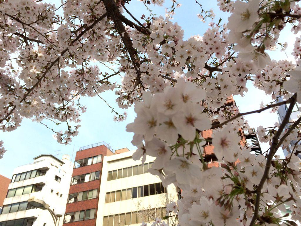 桜の見える日本の街並み