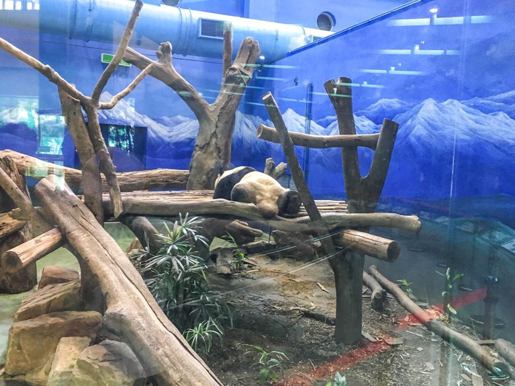 寝そべっているパンダ