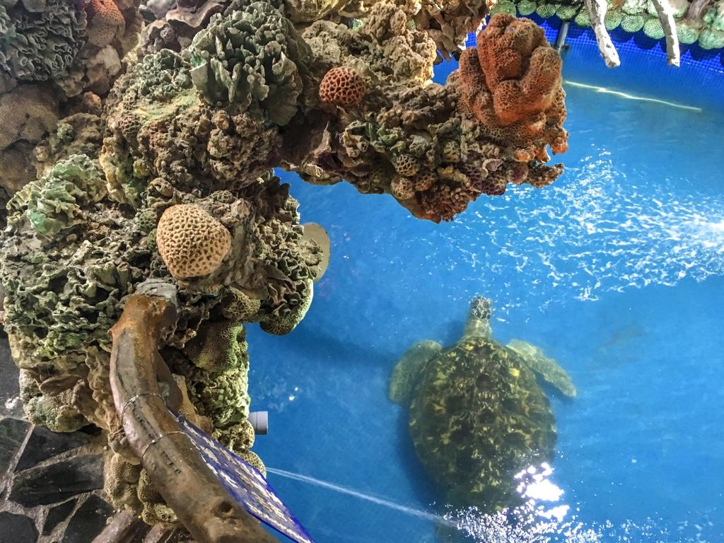 竹灣大義宮の地下にいる海亀