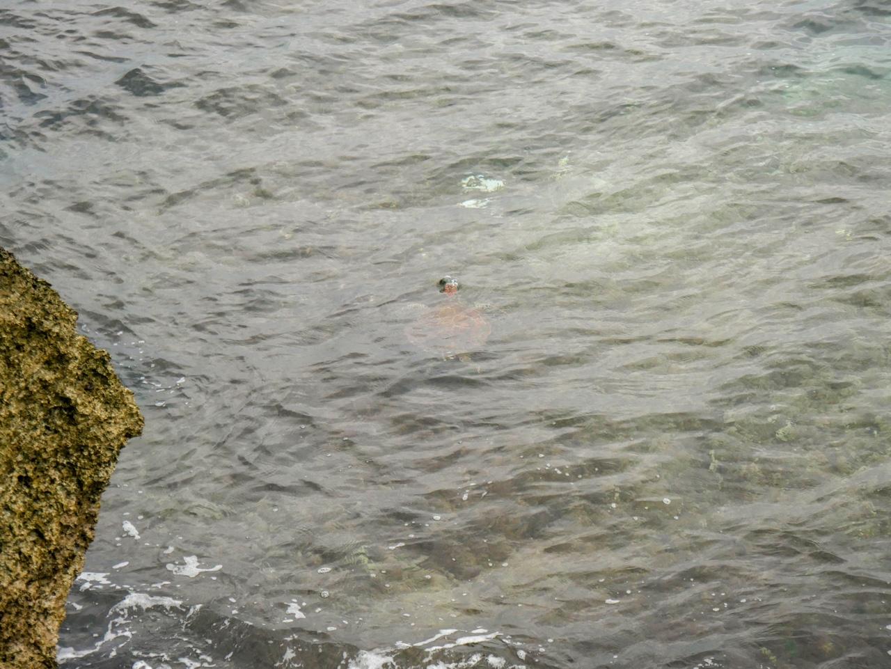 龍蝦洞で見かけた海亀